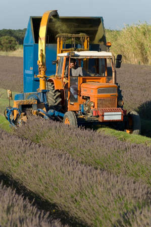Harvest of lavandinses to the machine on the township of Grillon