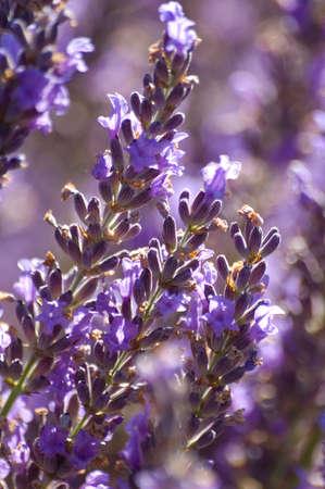 flowers of Lavandin