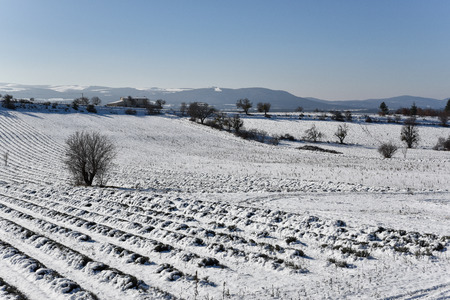 lavender field in the snow
