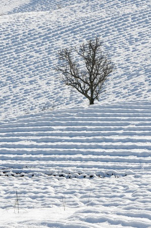 lonely tree in a field of lavender in the snow Stock Photo