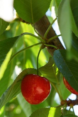 grappe de cerises sur leur branche Stock Photo