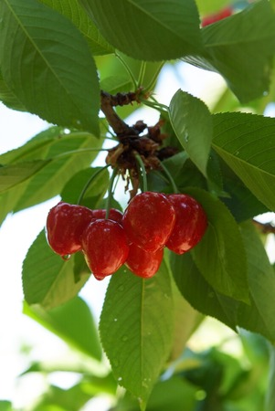 bunch of cherries on a branch