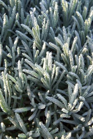 blanche: plant de lavande avec gel?e blanche du matin