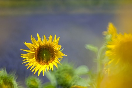 sunflower and lavender field - Drome