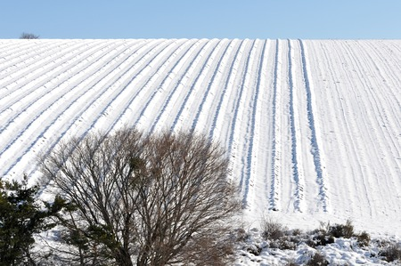 lavender field in the snow blown by the wind (Mistral)