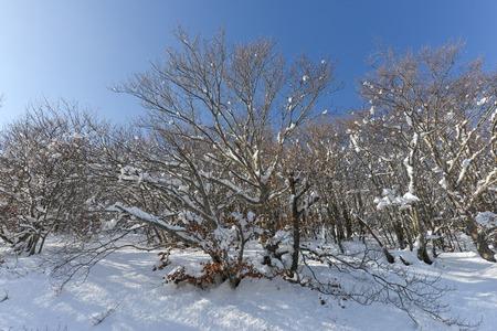 foliage under snow and blue sky
