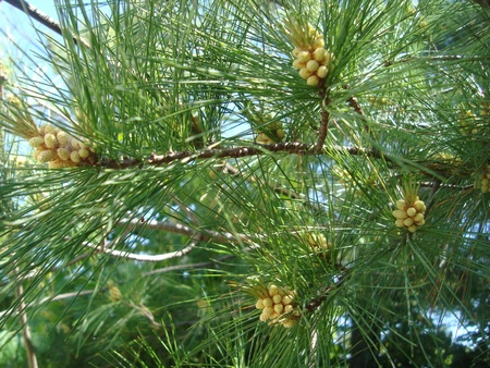 Pine Clusters Stock Photo