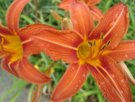 Pair of tiger lilies