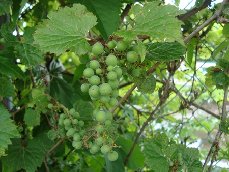 Grape Stock Photo - 13891165