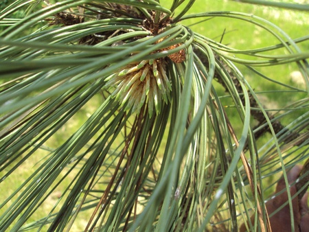 Pine needles III Stock Photo