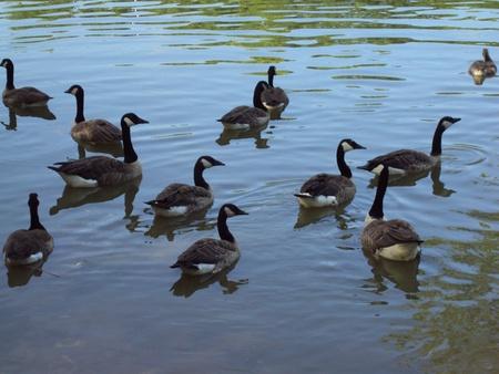 Twelve Geese