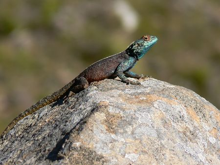A lizard basking in the sun on a rock Stock Photo - 535447