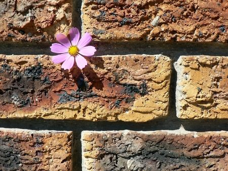 fragility: Cosmos on brick wall signifying fragility in a harsh environment.