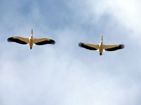 pelecanidae: Two pelicans flying overhead against cloudy sky. Stock Photo
