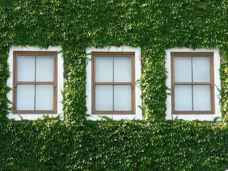 surrounded: Three wooden windows surrounded by beautiful green ivy.