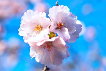 Pink blossom of cherry over blue sky  photo