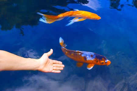 blue fish: Big golden fish in clear blue water.