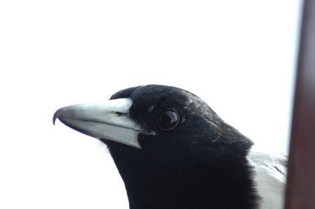srokaty: Pied butcherbird na dachu domu