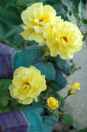 centred: Close up on yellow roses being taken care of. We see the hands of the gardener wearing green gloves. Flowers are centred.