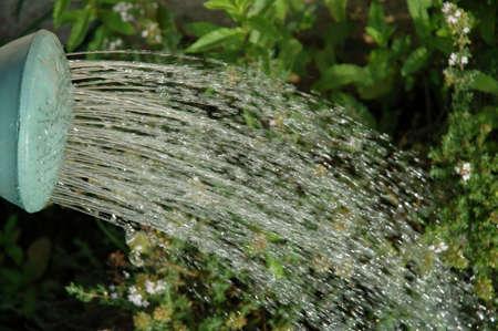 water thyme: Agua que es vertida en el tomillo de un verde que riega la lata. Solamente el extremo del canal�n verde se demuestra. Se riega el agua.