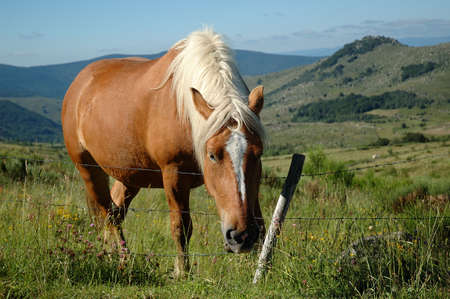 mont: Comtois draught horse with brown coat and white mane grazing in the meadows on the Mont Lozère - France Stock Photo