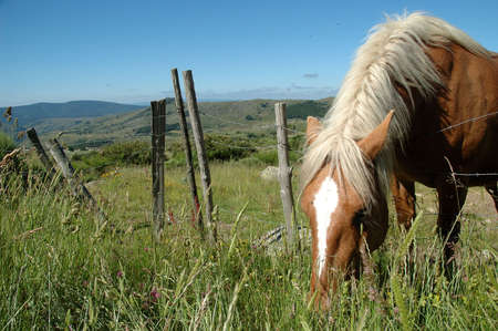draught horse: Comtois draught horse with brown coat and white mane grazing in the meadows on the Mont Lozère - France Stock Photo
