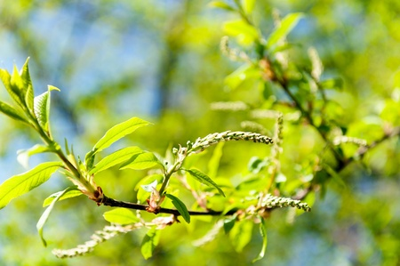 Green Catkin photo