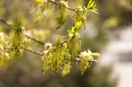 elder tree: Box elder outdoors