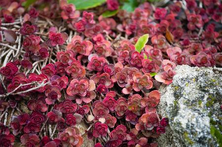 crassula: Red Crassula Stock Photo