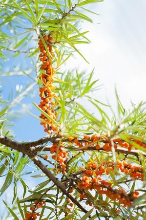 buckthorn: Branch with berries of sea buckthorn