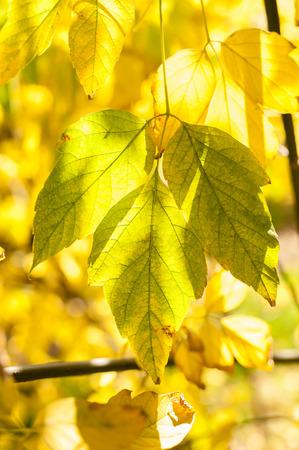 acer: Leaves of Acer negundo Stock Photo