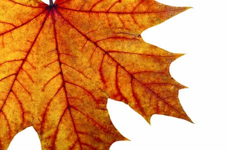 Autumn maple leave on a white background Stock Photo