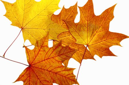 Autumn maple leaves on a white background Stock Photo - 1769338