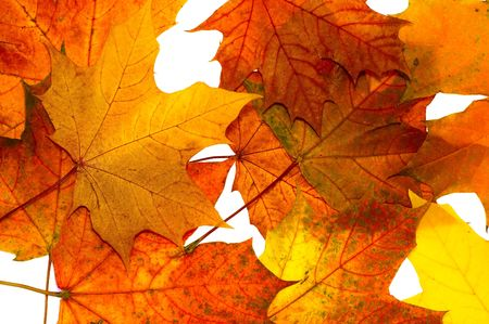 Autumn maple leaves on a white background Stock Photo - 1769340