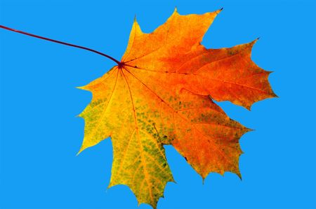 Autumn maple leave on a blue background Stock Photo - 1769336
