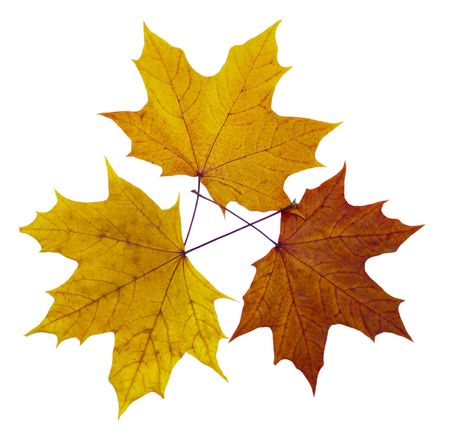 Autumn maple leaves on a white background photo