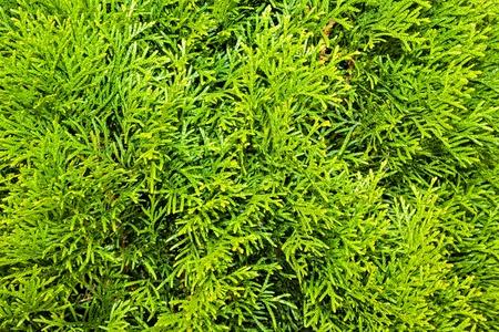 thuja occidentalis: Thuja Branches  Thuja occidentalis Smaragd