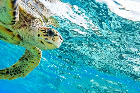 hardcoral: Sea turtle in The Indian Ocean, Maldives