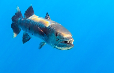 wildlive: Barracuda in The Indian Ocean, Maldives Stock Photo