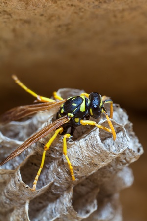 paper wasp: A young Paper Wasp Queen lays eggs in her nest to start a new colony. Stock Photo