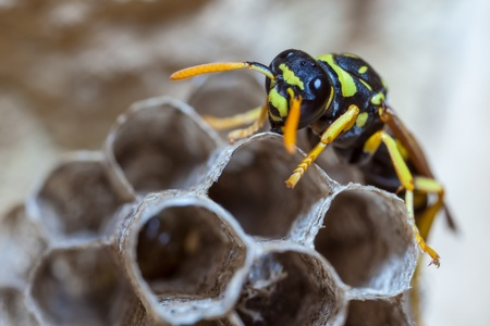 paper wasp: A young Paper Wasp Queen builds a nest to start a new colony.