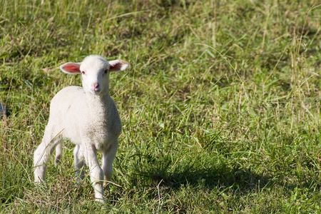 darling: Darling little lamb in a grassy field. Stock Photo