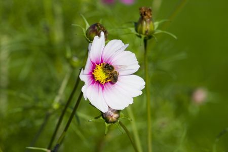 A bee collects pollen from the cosmos flower. A true picture of harmony. Stock Photo - 273686