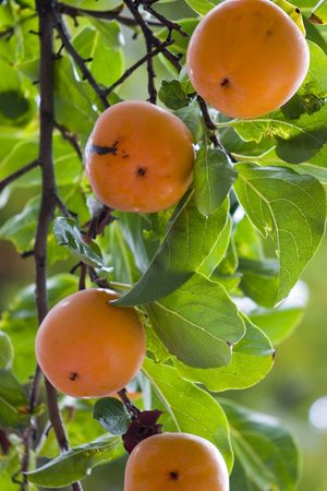 abound: You never notice persimmons here in France until the fall then their colors abound. Stock Photo