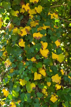 completely: Tree trunk in the shadows completely covered with beautiful green and yellow ivy. Stock Photo
