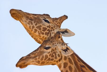 necking: Head shot of two giraffes necking against a light blue sky. It has been observed that the length of the neck may be a product of sexual selection.