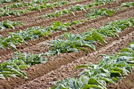 what if: Neatly planted rows of vegetables. If you have any idea what vegetable this is please let me know. Stock Photo