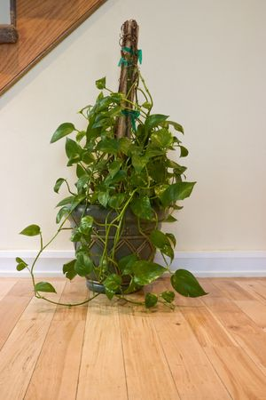 trailing: Large, indoor, potted pothos sitting on a wood floor against an off white wall.