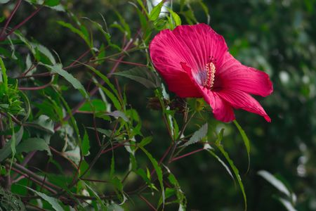 Single red Wild Hibiscus stands out against shadowed green leaves Stock Photo - 7627526