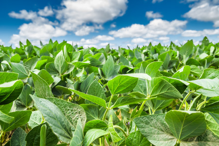 Close-up of a soybean plant field under a blue sky on a summer day Stock Photo